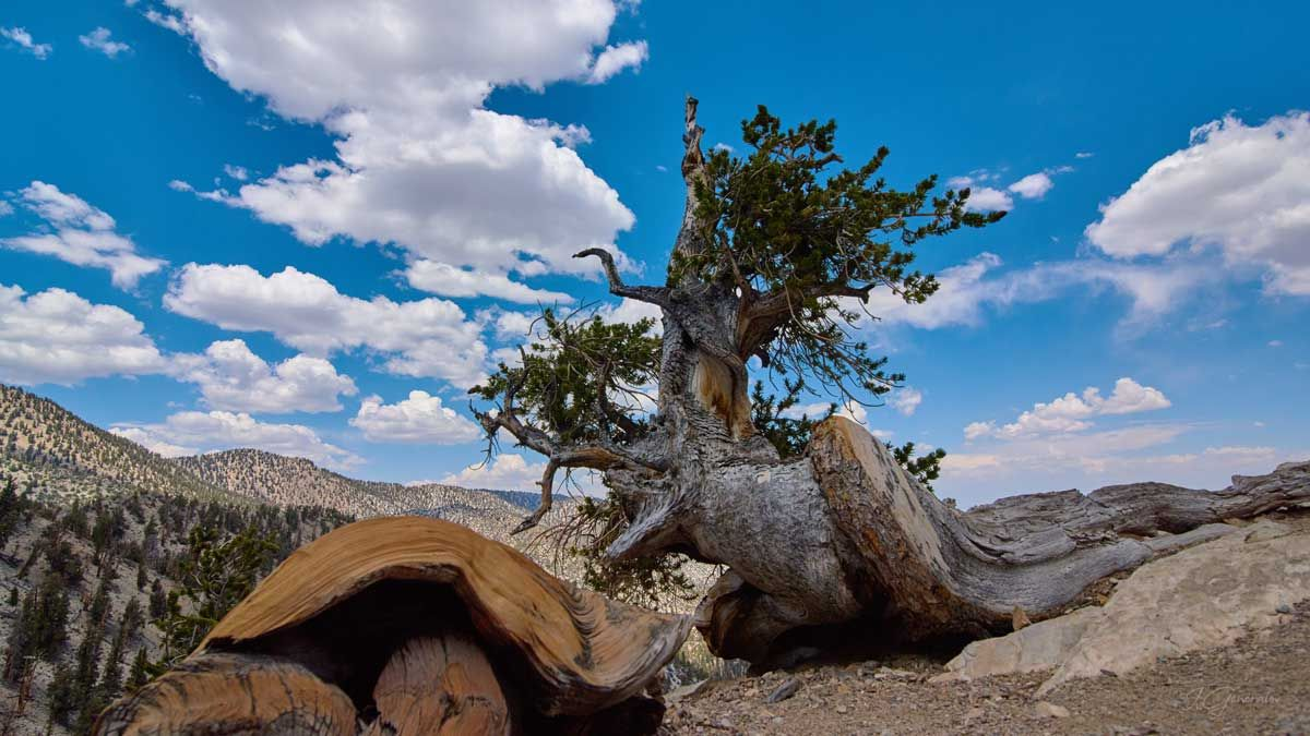 Bristlecone Wood Animal