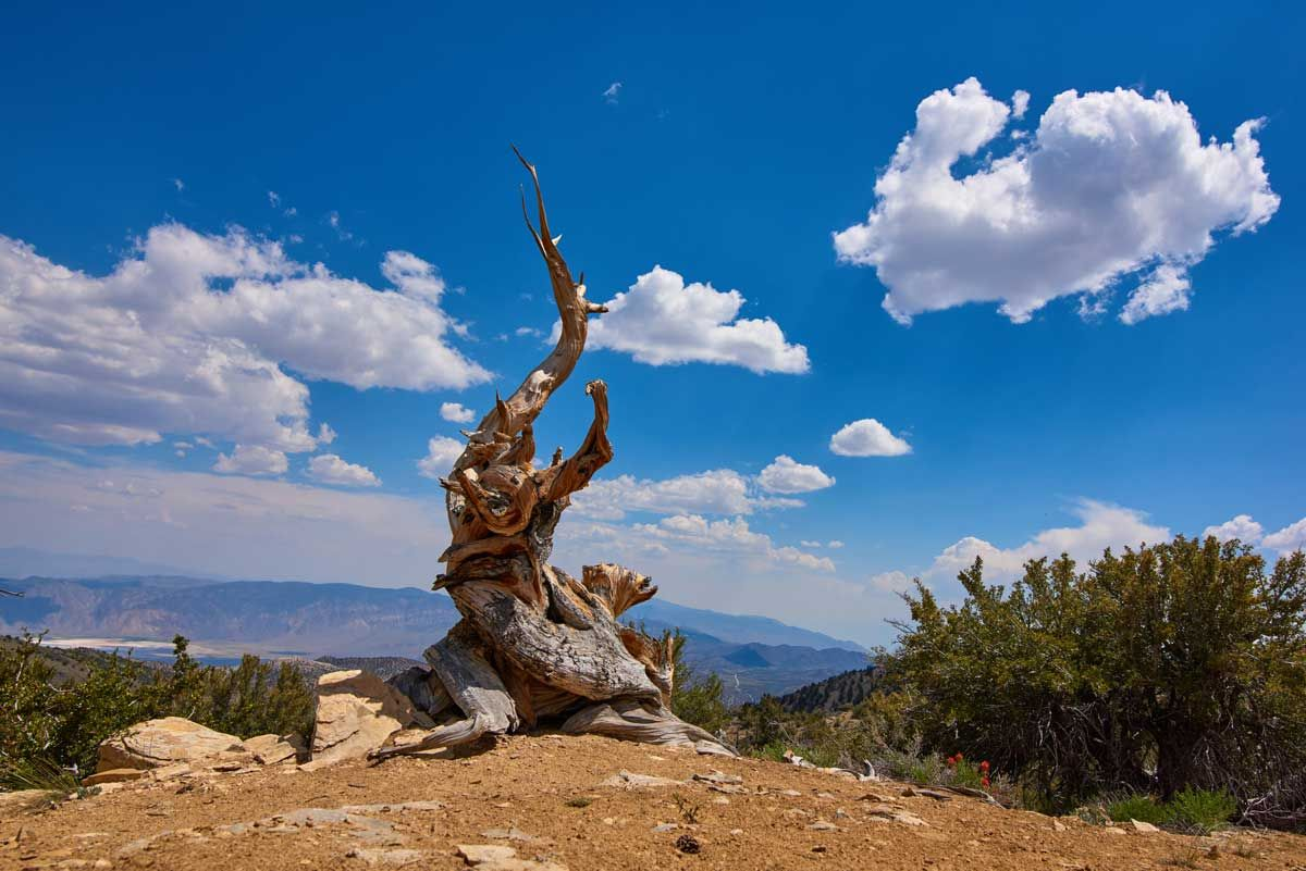 Old Root Bristlecone Pine