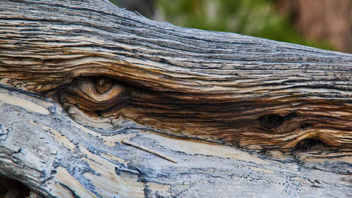 Bristlecone Monster Eye
